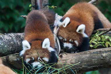 adorable red panda cubs