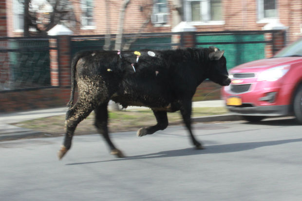 Runaway Bull Leads Police on Hourslong Chase Through Queens  Jamaica  New York  DNAinfo