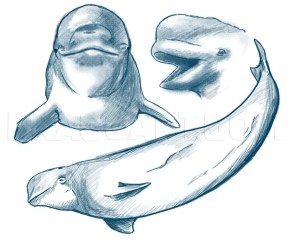 How To Draw A Beluga Whale Step by Step Drawing Guide by Dawn dragoart com