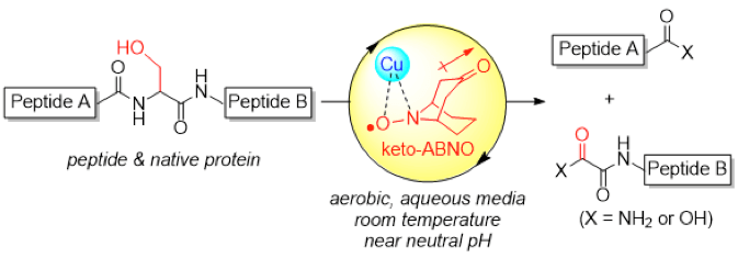 Serine-Selective Aerobic Cleavage of Peptides and a Protein Using a Water-Soluble Copper–Organoradical Conjugate