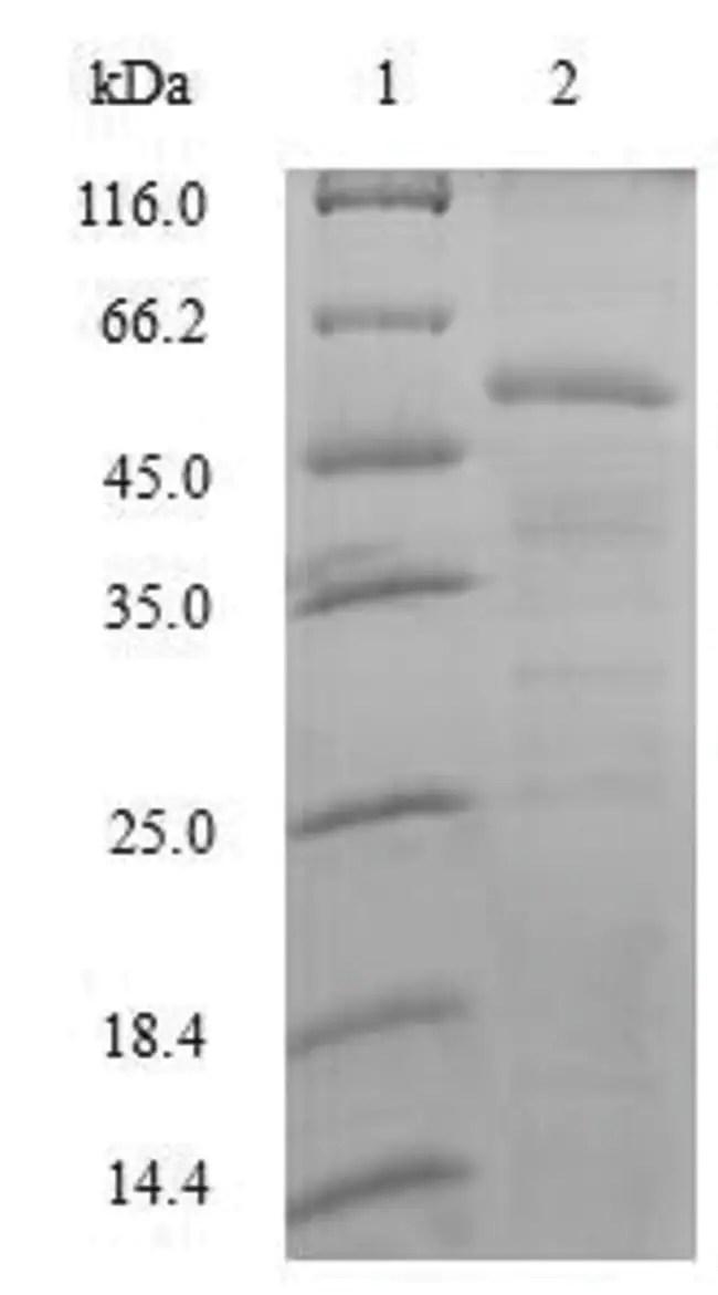 enQuireBio™ Recombinant Human Splicing factor U2AF 35 kDa subunit Protein 200μg enQuireBio™ Recombinant Human Splicing factor U2AF 35 kDa ...