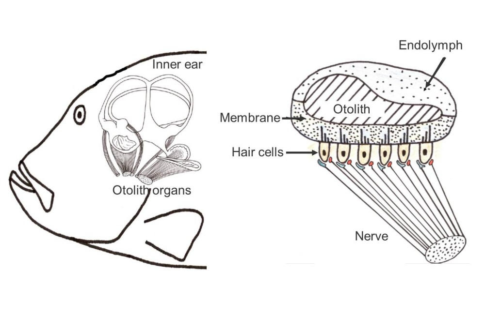medium resolution of left the inner ear with three semicircular canals and three otolith organs right schematic cut through an otolith organ source lasse amundsen fish