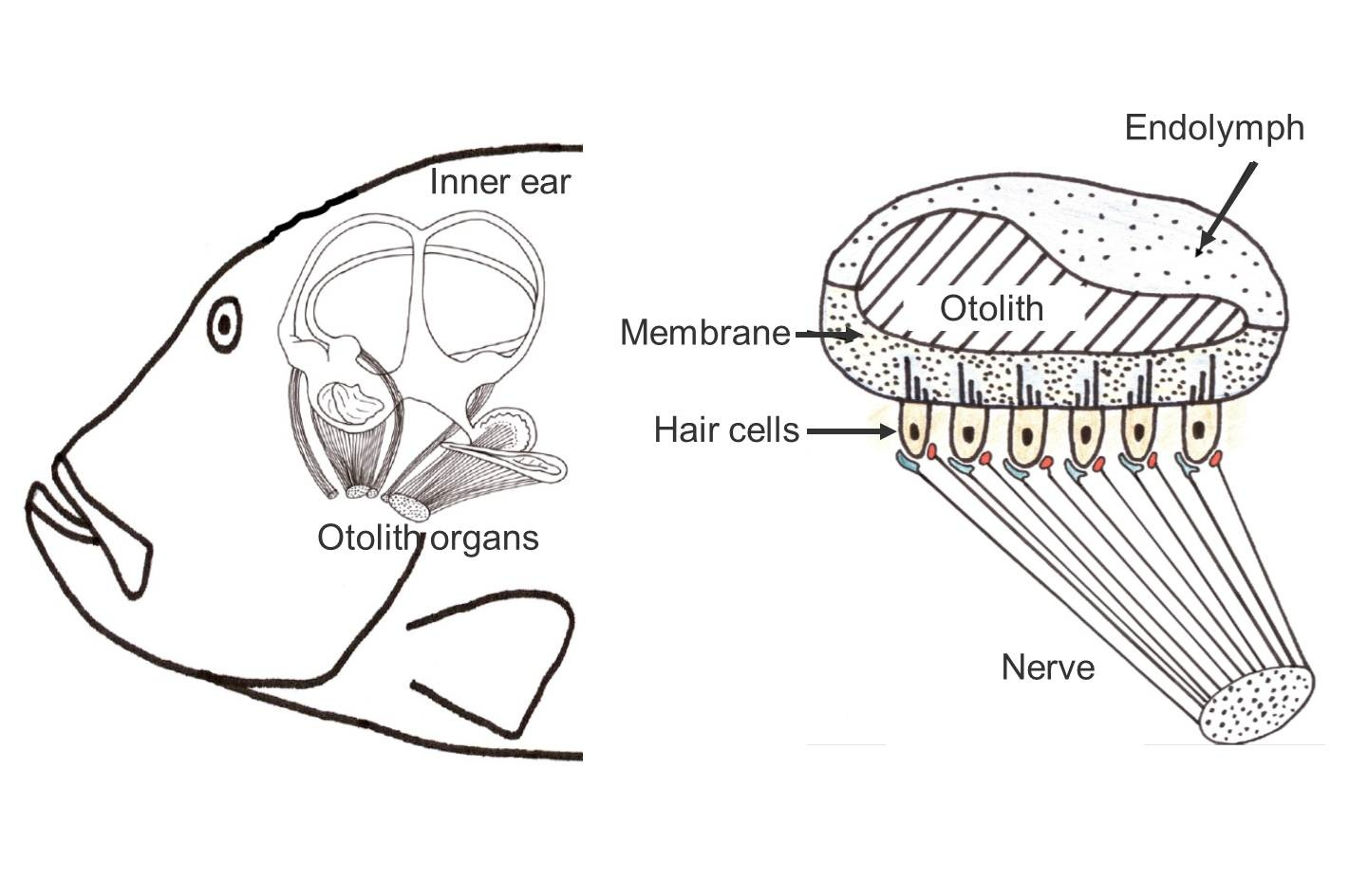 hight resolution of left the inner ear with three semicircular canals and three otolith organs right schematic cut through an otolith organ source lasse amundsen fish