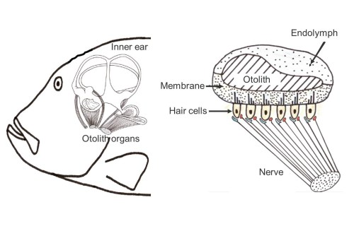 small resolution of left the inner ear with three semicircular canals and three otolith organs right schematic cut through an otolith organ source lasse amundsen fish