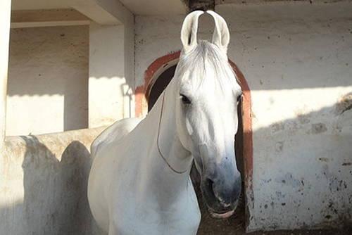 10 Pairs of Crazy Marwari Horse Ears  HORSE NATION