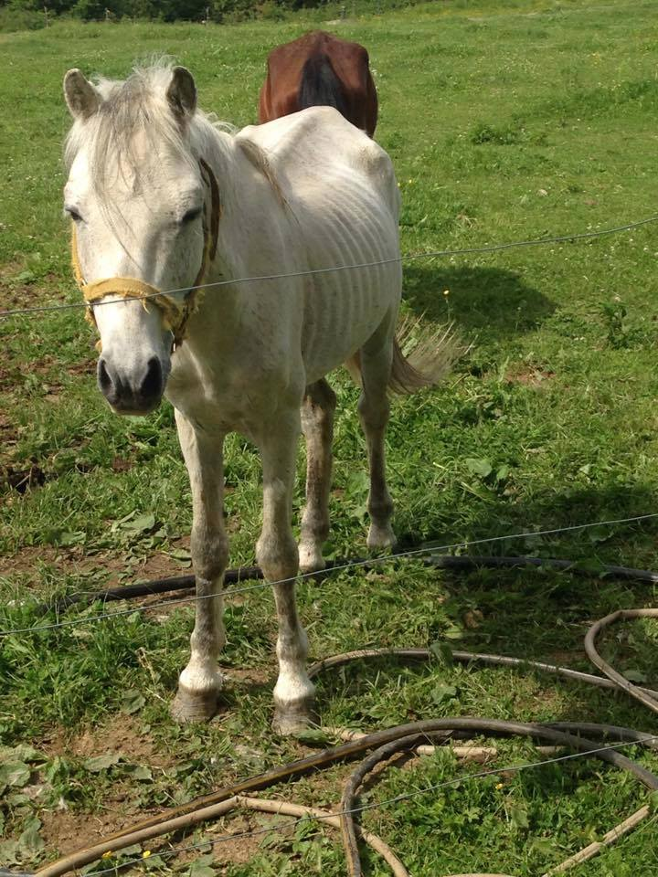 Maine Equine Starvation Controversy Deepens  HORSE NATION