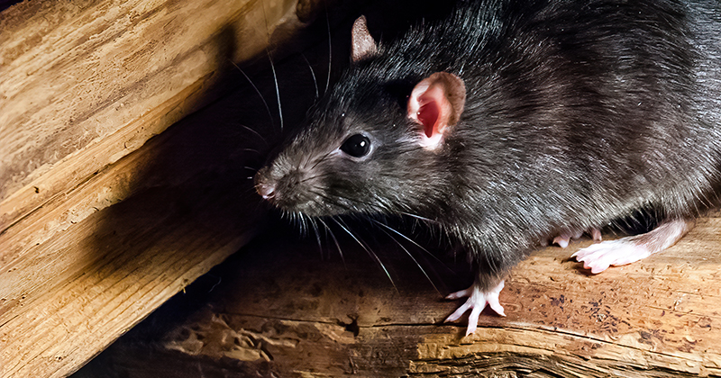 Chinese Man Tests Positive For Hantavirus From Rats After Dying On ...