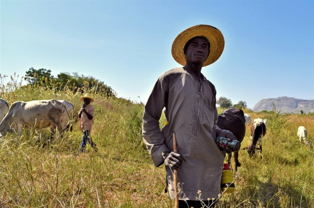 An image of a Fulani herder standing is a field while cattle graze behind him.