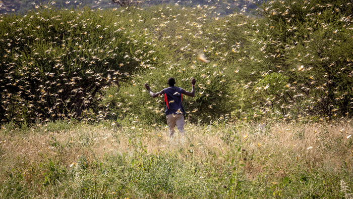 A man walks among a locust swarm in Kenya.