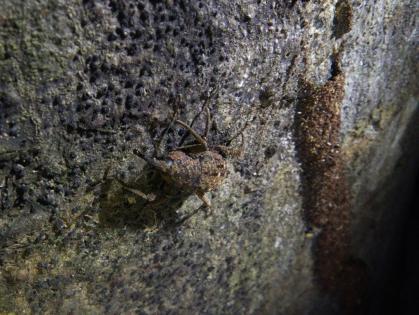 Daintree 15 Weevil