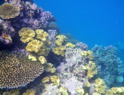 Wavelength 1 Coral