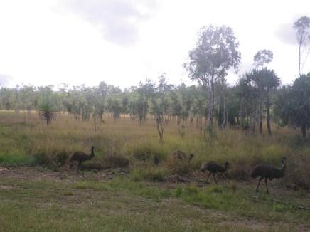 Mareeba 1 Emu