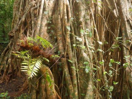 Lake Eacham 5 basket fern