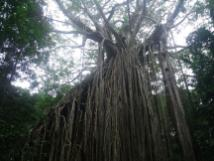 Lake Eacham 7 curtain fig