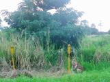 Mission Beach 7 Wallaby
