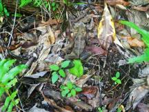 Dunk Island 2 Cane toad