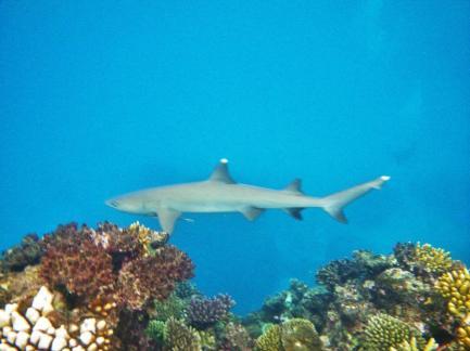 Cairns snorkeling 11 Whitetip reef shark