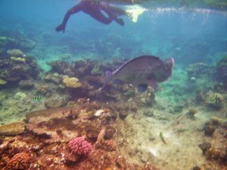 Cairns snorkeling 15 John & humphead