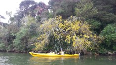 KeriKeri river 0 Felicity kowhai cherry