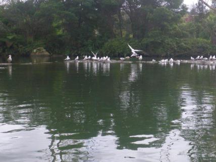 KeriKeri River 3 gulls