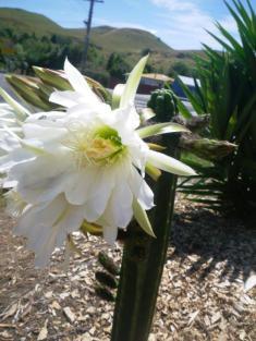 Puketapu Circuit flowering cactus 2