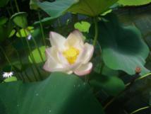 wpid-Kew-gardens-lotus.jpg