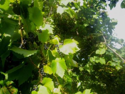wpid-Ricksmanworth-gravel-lakes-grapes.jpg