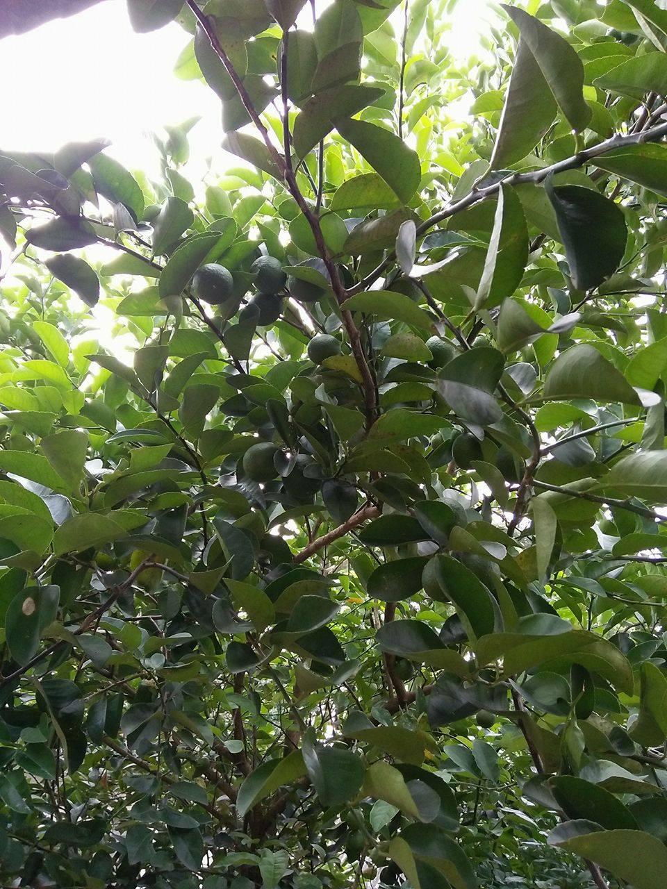 Membuat Pohon Jeruk Berbuah Lebat oleh Jejen Al Cireboni
