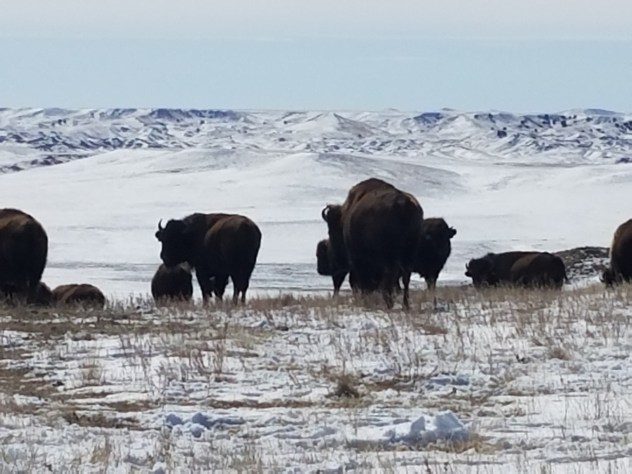 Bison in their native homeland