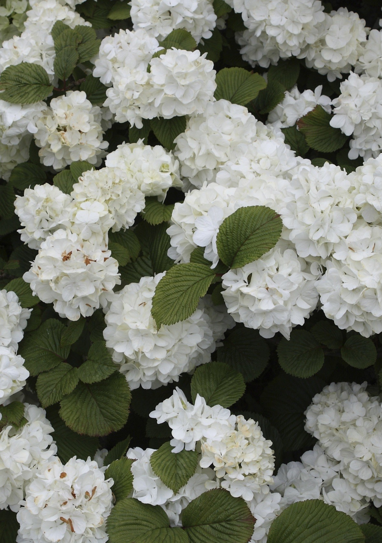 7 show-stopping flowering shrubs
