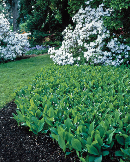 gardening lily of valley