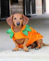 Dogs in Halloween Costumes: Can You Resist? | Martha Stewart