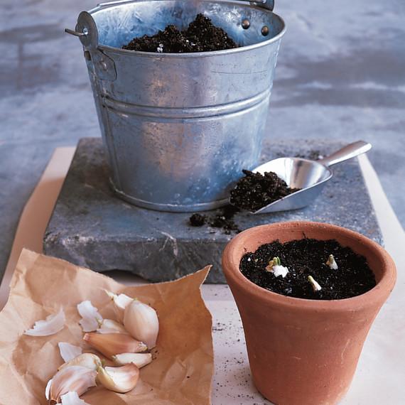 growing-garlic-greens-1099-ml910aa20.jpg