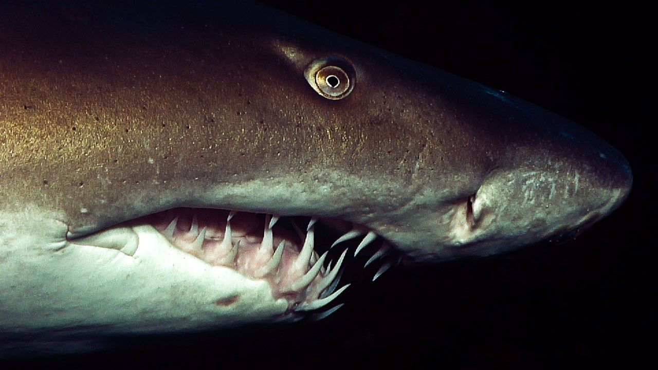 Dog Mouth Diagram Shark Madness Photos Ragged Tooth National Geographic