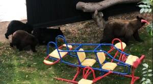 Bear, 3 cubs casually stroll through B.C. backyard (02:05)