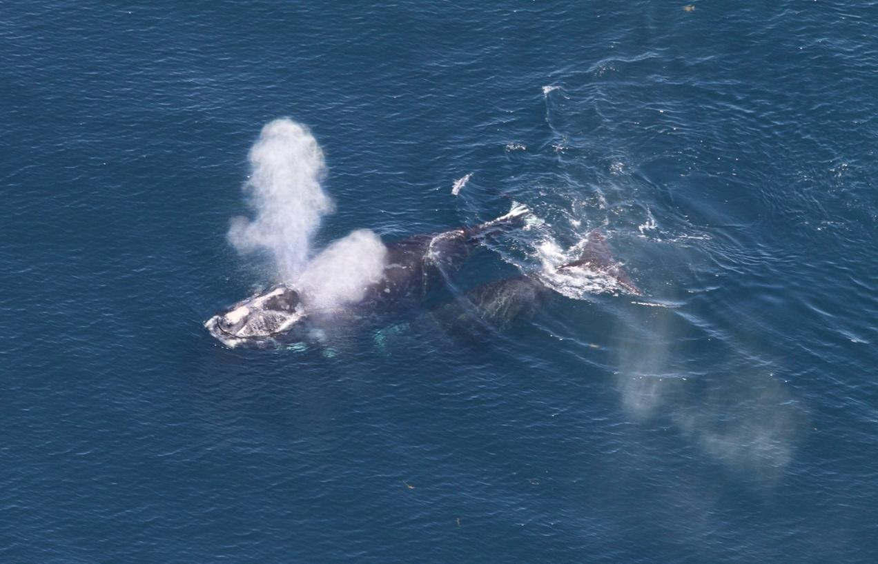 hight resolution of north atlantic right whale mom calf pair
