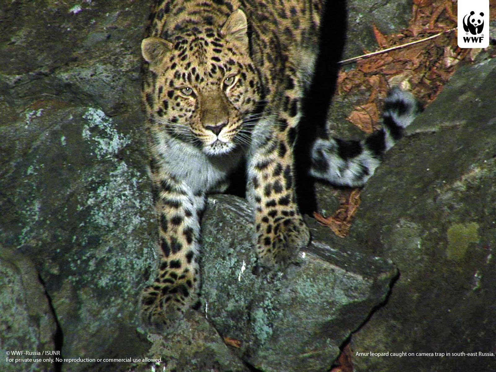 amur leopard | wwf
