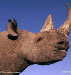 black rhinoceros diceros bicornis  [ 1600 x 1200 Pixel ]