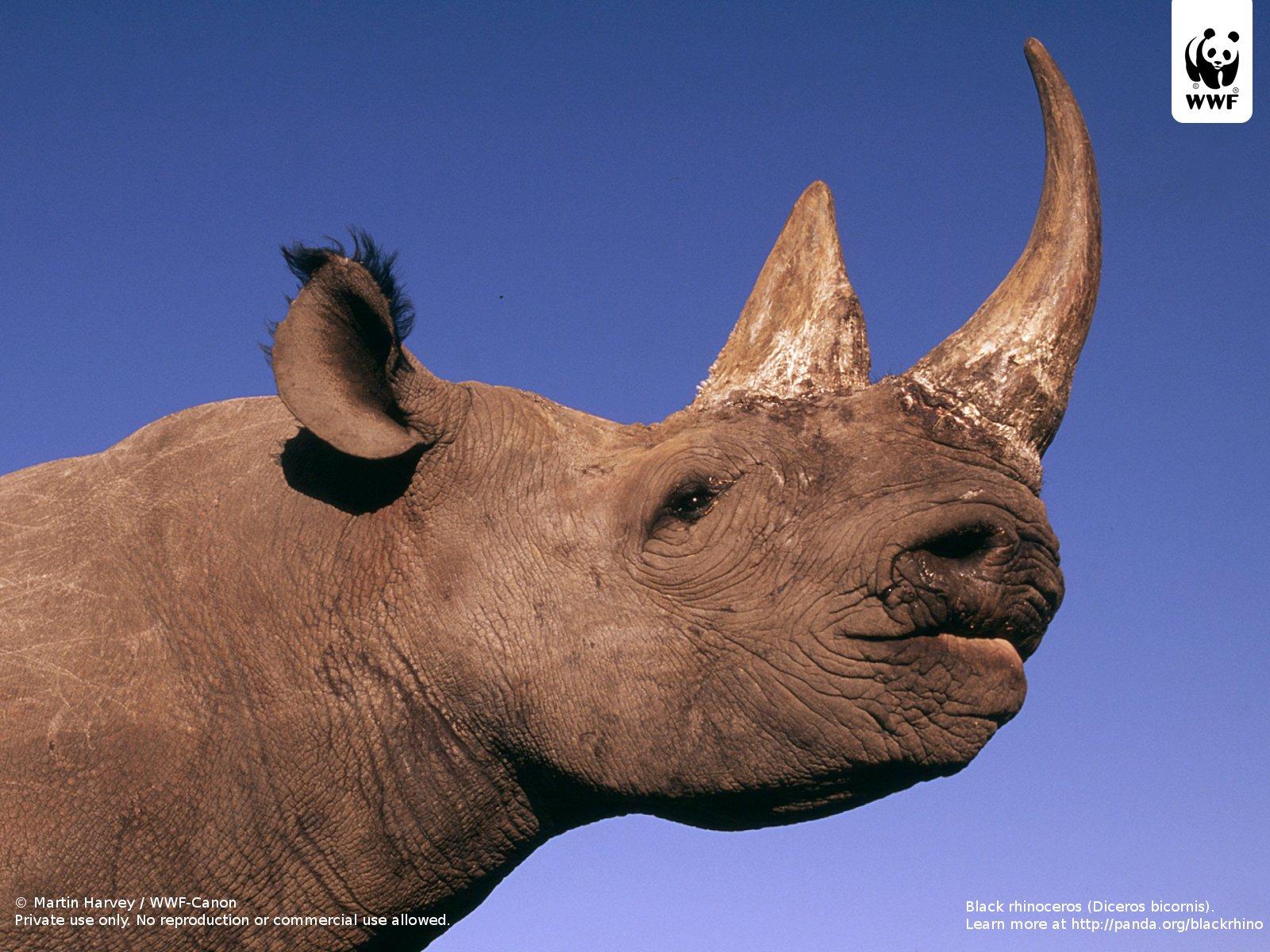 hight resolution of black rhinoceros diceros bicornis