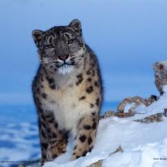 Snow Leopard Anatomy Diagram Club Car Golf Cart Wiring Batteries Wwf Uncia In Winter