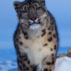 Snow Leopard Anatomy Diagram Arco Phase Converter Wiring Wwf Population Status Estimated Of The