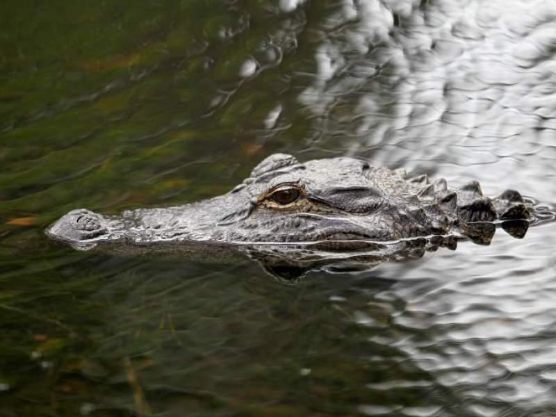 Miami : Dévorée par un alligator alors qu'elle promenait ses chiens