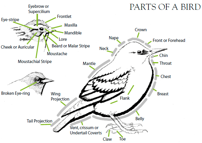 van Perlo, B.: Birds of South America: Passerines