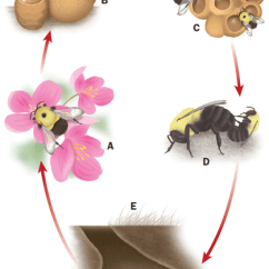 Bumble Bee Diagram Mini Bike Wiring Williams P Thorp R Richardson L And Colla S Bees Life Cycle