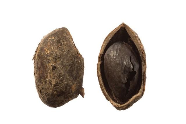Earliest pistachio nut known in Britain.