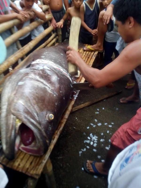 Giant Lapulapu fish found in Antique