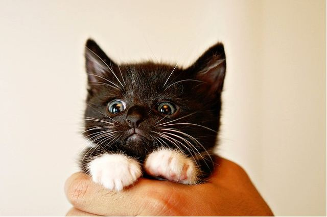 Cute Kitty Cat Wallpapers Oreo The Kitten With Little Mittens Love Meow