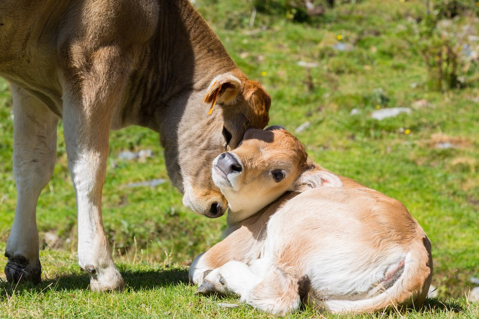 Cute Baby Bulldogs Wallpaper Fiercely Loyal Cow Protects Friend S Baby From Dairy Farmer