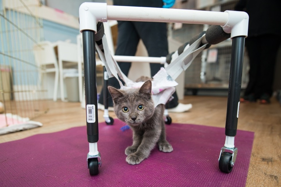 wheelchair for cats kneeling office chair pros and cons they give these wobbly sisters wheels seconds after get in love meow