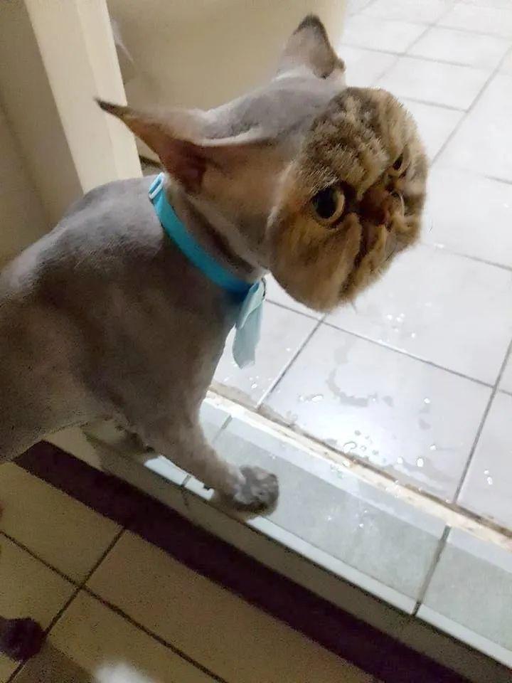 Persian Cat Lion Cut : persian, Persian, Haircut, Comes, Unexpected, Look...